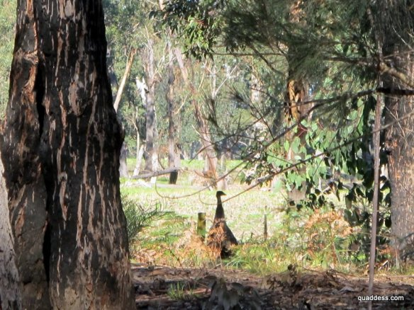 Emu, East Gippsland Rail Trail