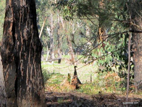 Emu, East Gippsland Rail Trail