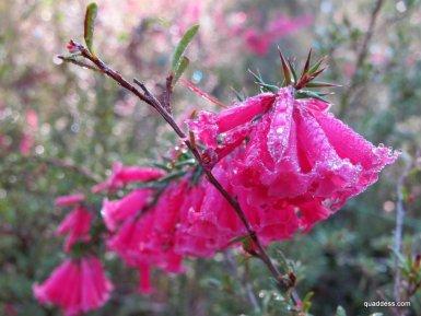 Victoria's floral emblem, pink heath